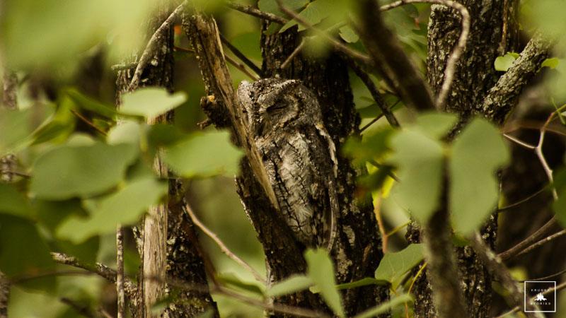African Scops' Owl