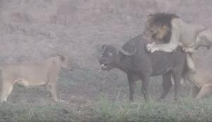 Lions Attacks Buffalo Twist in Tale