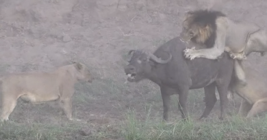 Lions Attacks Buffalo Twist in Tale