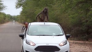 Baboon on car