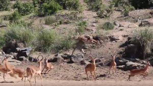 Leopard catch impala