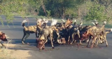 Wild dogs kill kudu