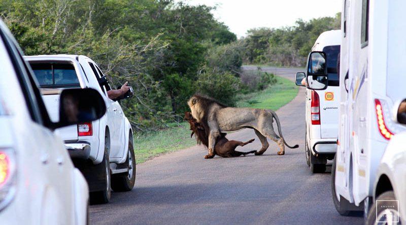 lion kills warthog